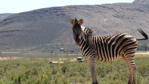 Zebra im Aquila Game Reserve
